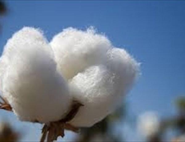 cotton_-1894987193875215481