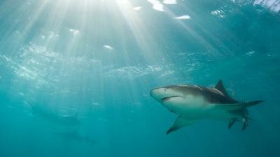 Shark-generic-jpg_20150607192003-159532