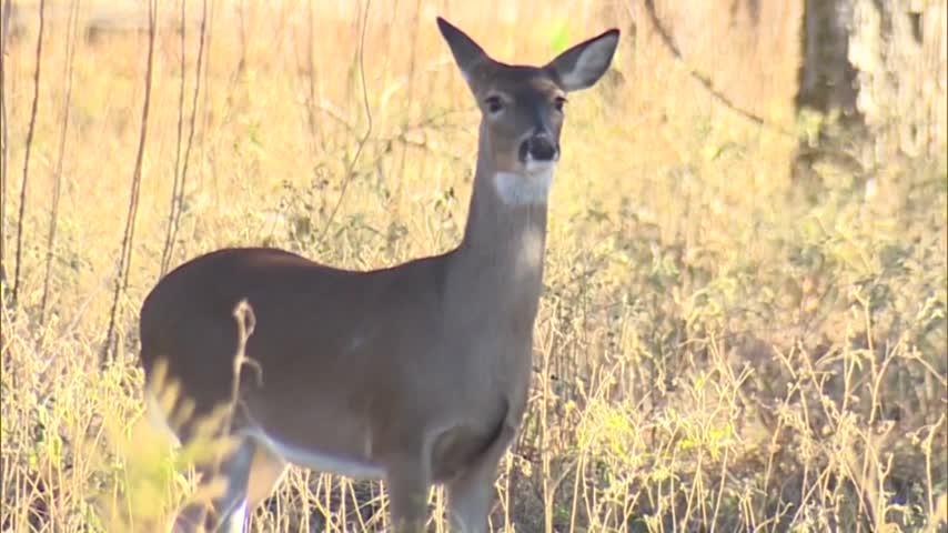 Local Increase of Deer from Mating Season