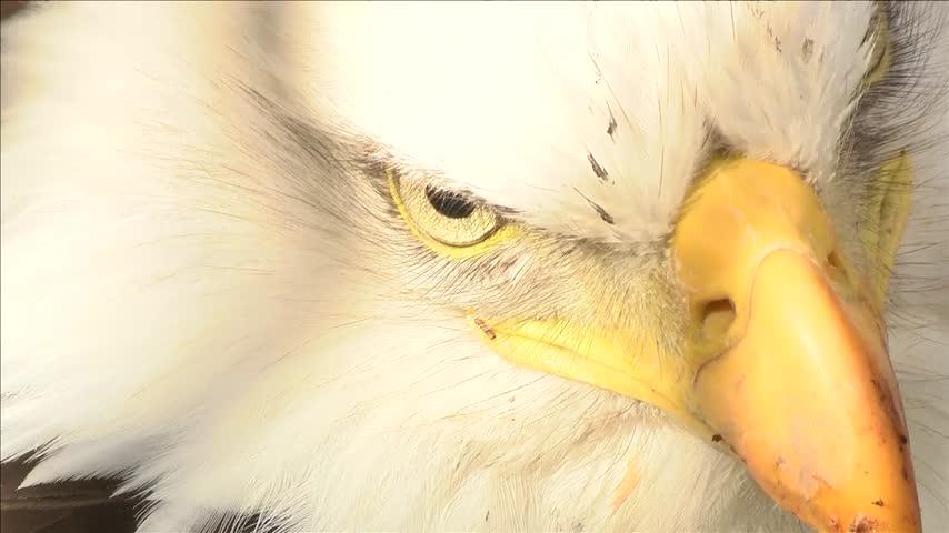 Bald Eagle Found_90544394