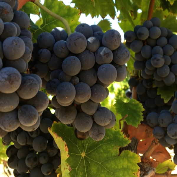 grapes 456_1535674005966.jpg.jpg