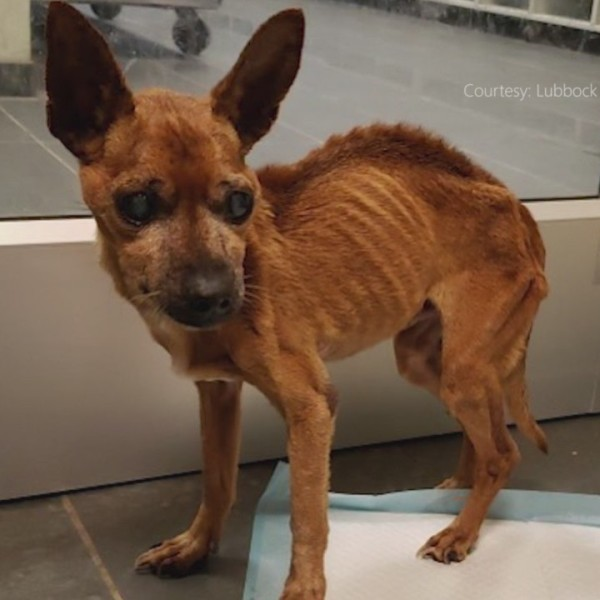 Dog_brought_into_Lubbock_Animal_Services_1_20181115001044