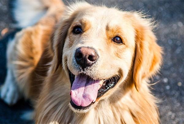 Pet Adoptions, Dogs - 720