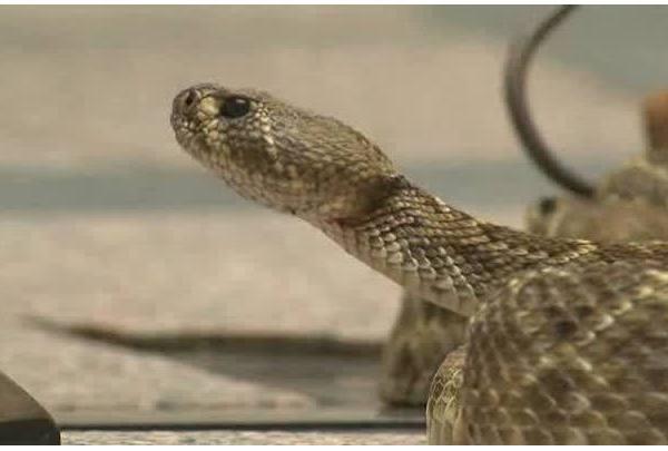 Rattlesnakes_at_Texas_Capitol_7_20190206190818
