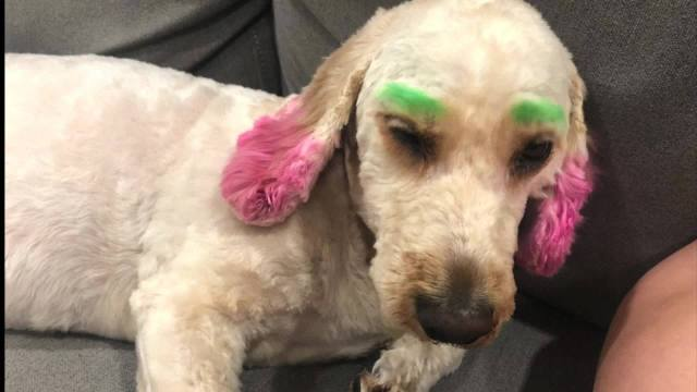 Florida woman upset over her dog being dyed by groomer