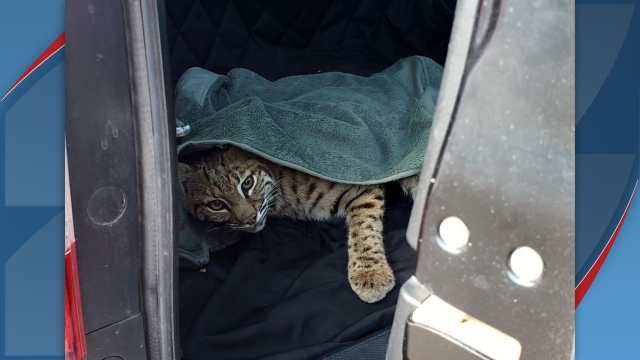 Colorado woman puts injured bobcat in backseat with child