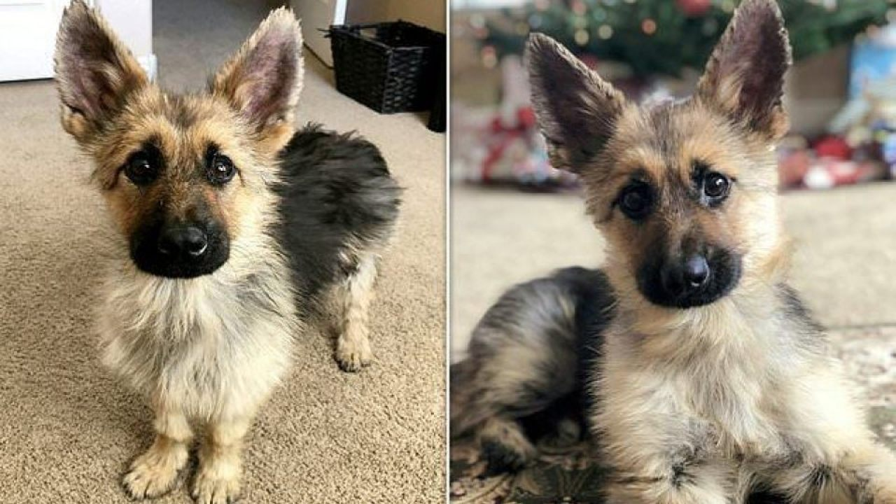 2-year-old German Shepherd will forever look like a puppy
