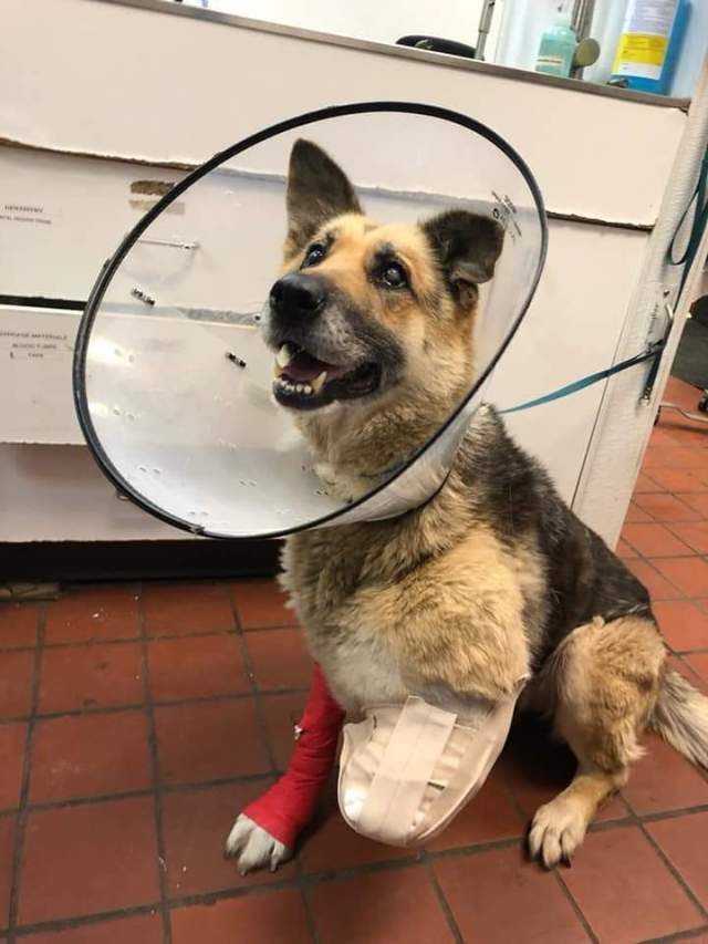 Dog believed to have chewed off own leg; owner arrested